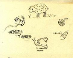 Ciclo biologico della Faciola epatica.  1 ospite definitivo, 2 uova, 3 miracidio, 4 ospite intermedio, 5 sporocisti, 6 redia, 7 cercaria. Disegno di Daniela Rippa.