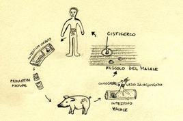 Schema del ciclo biologico della Tenia solium.  Disegno di Daniela Rippa.