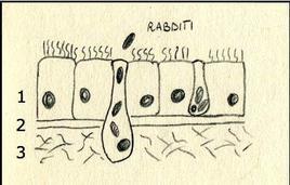 Parete del corpo dei turbellari. 1 Epitelio monostratificato ciliatato, 2 lamina basale, 3 lamina reticolare. Disegno di Daniela Rippa.