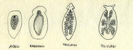 Diversi tipi di intestino dei turbellari. Disegno di Daniela Rippa.