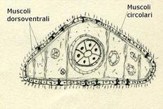 Sezione trasversale di una planaria. Disegno di Daniela Rippa.