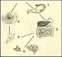 Ciclo biologico di Trichinella spiralis: 1) cisti ingerite arrivano nello stomaco dell'ospite e liberano larve che migrano nell'intestino tenue (2) qui diventano adulte e si riproducono. Le nuove larve attraverso il sangue giungono ai muscoli scheletrici incistandosi (3 e 4). se ingerita la un altro da un carnivoro le cisti infetteranno  un nuovo ospite; 5 organi che mostrano patologie legate alla presenza del nematode   Disegno Daniela Rippa.