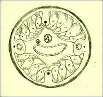 Struttura di un nematode, sezione trasversale: si nota la spessa cuticola sinciziale pluristratificata che avvolge l'intera sezione. Disegno di Daniela Rippa.