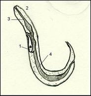 Sezione longitudinale di un nematode: 1 cellule a renetta, 2 bocca, 3 faringe, 4 intestino, 5 ano. Disegno di Daniela Rippa.