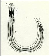 Sezione longitudinale di un nematode, rappresentazione del sistema nervoso e alcune strutture sensoriali: 1 gangli anteriori ed anello faringeo,2 cordoni nervosi diretti posteriormente, 3 cordoni nervosi diretti anteriormente, 4 Fasmidi,   5 anfidii. Disegno di Daniela Rippa.