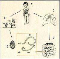 Ciclo biologico dell'Ascaris lumbricoides: ospite infettato (1), attraverso il circolo sanguigno gli stadi giovanili giungono ai polmoni (2) da dove migrano verso la gola e di qui nell'intestino (3) dove matura in adulti (4) sessualmente maturi. Nell'intestino gli adulti depongono le uova (5)  espulse con le feci ed eventualmente ingerite da un nuovo ospite. Disegno Daniela Rippa.