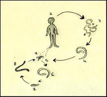 Ciclo biologico di Wuchereria bancrofti:  1 ospite intermedio o vettore, 2 ospite definivo, 3 filarie adulte presenti nei linfonodi ascellari o inguinali del vertebrato, 4 microfilaria, 5 il vettore può prelevare micofilare nel momento in cui punge il vertebrato per nutrirsi, 6 le micofilarie giungono ai muscoli toracici del vettore, 7 larve al I stadio, 8 larva al III stadio che giunge nell'organo pungente della zanzara e da qui nuovamente all'ospite definitivo. Disegno Daniela Rippa.
