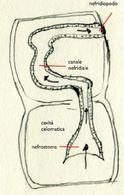 Rappresentazione schematica di un metanefridio. Disegno di Daniela Rippa.