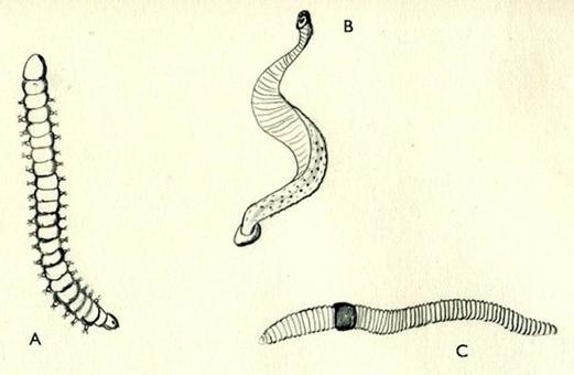 Classificazione classica degli anellidi: A) policheti, B) Irudinei, C) oligocheti. Disegno di Daniela Rippa.