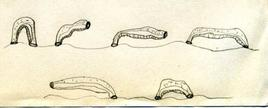 Tipico movimento a compasso degli Irudinei. I disegni, da sinistra verso destra, descrivono le diverse posture che il corpo di un irudineo assume durante il movimento. Questi organismi presentano una cavità del corpo non settata e ripiena di tessuto connettivo che formano un reticolo di canali e seni ripieni di liquido che non consente la peristalsi. Ciò nonostante gli iruidinei si muovono facilmente in vari modi. Alcuni sono abili nuotatori. Disegno di Daniela Rippa.