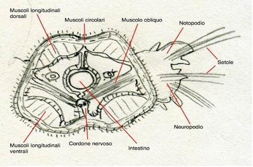 Sezione trasversale di un anellide nella quale si evidenziano i diversi tipi di muscoli implicati nel movimento e i parapodi laterali. Disegno di Daniela Rippa.