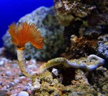 Polichete serpulide, è evidente la ricca e colorata corona di tentacoli a spirale. Foto di Domenico Fulgione.