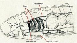 Sezione sagittale di un anellide. Sono messi in evidenza alcuni elementi dell'apparato circolatorio: un vaso ventrale e un vaso ventrale connessi da vasi segmentali o metamerici laterali. Alcuni di questi fungono da cuori tubulari peristaltici. Nei vasi scorre un liquido limpido che può essere rosso per la presenza di emoglobina o verde per la presenza di un altro pigmento respiratorio la clorocruorina. Disegno di Daniela Rippa.