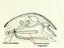 Schema della sezione sagittale di un gasteropode. Le linee rosse evidenziano gli elementi che costituiscono il sistema nervoso di questi organismi. Disegno di Daniela Rippa.