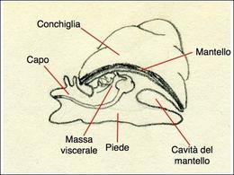 Schematizzazione del corpo di un mollusco. Sono messe in evidenza le diverse regioni del corpo. Disegno di Daniela Rippa.