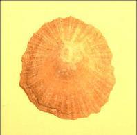 Conchiglia di una Patella (gasteropode marino). Fotografia di Daniela Rippa.