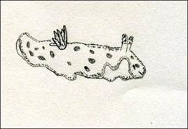 I nudibranchi sono gasteropodi marini, abili nuotatori grazie ad espansioni del piede che fungono da remi.