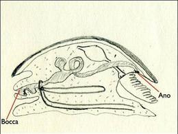 Sezione sagittale di un modello di gasteropode in cui si evidenzia l'apparato digerente completo che si apre all'esterno con la bocca e l'ano. Disegno di Daniela Rippa.