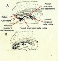 Sezione sagittale della bocca di un mollusco. Si evidenzia la radula, l'odontoforo e i muscoli che permettono il movimento della radula (muscoli protrattori e retrattori della radula) ed il movimento dell'odontoforo (muscoli dell'ondoforo) che stinge all'infuori e all'interno della bocca la radula. Disegno di Daniela Rippa.