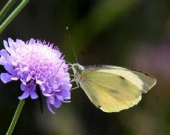 Lepidottero (insecta). Foto di Daniela Rippa.