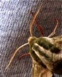 Le antenne degli insetti possono essere potenti chemiocettori o meccanocettori. Foto di Daniela Rippa.