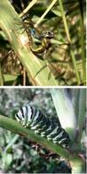 Riproduzione sessuata, accoppiamento tra due libellule (in alto). Larva di lepidottero (in basso). Foto Daniela Rippa