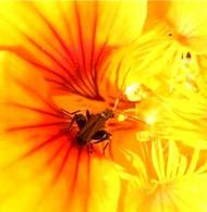 Molti insetti rivestono un importante ruolo nella impollinazione delle piante vascolari.  Foto di Daniela Rippa.