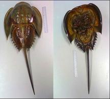 Limulus polyphemus. Visione dorsale (sinistra) visione ventralel (destra)