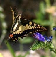 Lepidottero. Le ali delle farfalle sono ricoperte di microscopiche squame embricate che conferiscono il variopinto colore di questi insetti. L'apparato boccale è caratterizzato da due lunghe mascelle modificate che prendono il nome di spiritromba. Questa permette alle farfalle di succhiare il nettare dai fiori. Foto di Daniela Rippa.