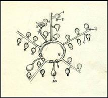 Schema del sistema vascolare acquifero: 1 madreporite, 2 ampolla del madreporite, 3 canale petroso, 4 ampolla, 5 pedicello, 6 canale laterale, 7 canale radiale, 8 canale anulare, 9 corpi di Tiedemann, 10 vescicole di Poli. Disegno di Daniela Rippa.