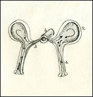 Particolare dei pedicelli ambulacrali. 1 pedicello, 2 ampolla, 3 canale laterale, 4 canale radiale. Le frecce indicano il flusso interno dei liquidi tra ampolla e pedicello che permette il movimento dei pedicelli. Disegno di Daniela Rippa.