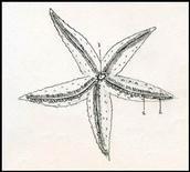 Asteroidea. Superficie orale: 1 solco ambulacrale, 2 pedicelli ambulacrali , 3 bocca. Disegno di Daniela Rippa.