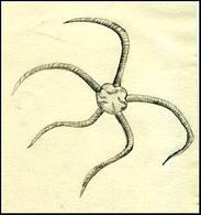 Ophiura o stella serpentina. Disegno di Daniela Rippa.