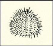 Echinoidea o ricci di mare. Disegno di Daniela Rippa.