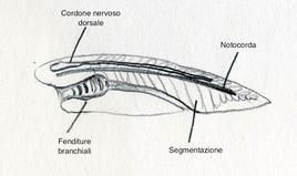 Caratteri distintivi dei Cordati: Notocorda,  Cordone nervoso dorsale, segmentazione, Fessure branchiali al livello della faringe. Disegno di Domenico Fulgione.