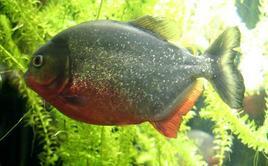 Piranha rosso, Pygocentrus natterei, Foto di Domenico Fulgione.