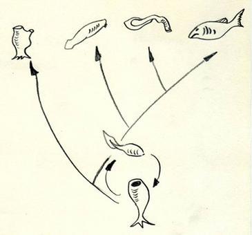 Schema dell'evoluzione dei cordati. Secondo l'ipotesi  proposta negli anni '20 da Walter Garstang i cordati hanno avuto origine da un organismo filtratore sessile primitivo simile alle attuali. Dalla forma adulta si sono evoluti gli attuali urocordati (primo a sx), dalla forma larvale per neotenia i subphylum degli Agnati, dei cefalocordati e dei Vertebrati (da sx a dx). Disegno di D. Fulgione.