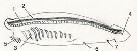 Anatomia di un anfiosso. Notocorda (1); Cordone nervoso dorsale (2); fessure branchiali (3), coda (4); vestibolo con cirri tentacolari disposti intorno alla bocca (5) che impediscono alle particelle troppo grandi di entrare nella bocca; atrioporo (6) da cui fuoriesce l'acqua che entrando dalla bocca passa attraverso le fenditure branchiali e penetra in un grande spazio interno detto atrio messo in comunicazione con l'estereno attraverso l'atrioporo; ano (7). Disegno di Domenico Fulgione.