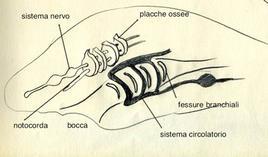 Schema dell'anatomia di un veretebrato. Disegno di Domenico Fulgione.