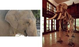 Elefante (sinistra) e il suo scheletro osseo (destra). Foto di Domenico Fulgione.