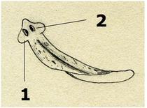 Organi di senso. 1 Auricole, 2 macchie oculari.  Disegno di Daniela Rippa.