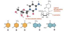 Le basi azotate del DNA. Fonte: modificata da Brown Poon, Introduzione alla Chimica Organica, EdiSES