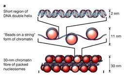 DNA superavvolto intorno agli istoni (cromatina). Fonte: modificata da Brown Poon, Introduzione alla Chimica Organica, EdiSES