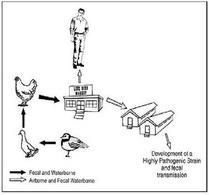 schema rappresentativo della possibile diffusione di malattia animale/uomo