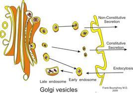 Apparato di Golgi. Fonte: Fonte: modificata da Wikimedia Commons