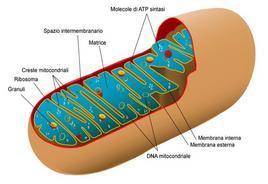 Diagramma di un mitocondrio. Fonte: Wikimedia Commons