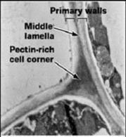 Pareti di due cellule adiacenti. Fonte: ASPB