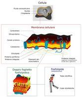 Diagramma di una membrana cellulare. Fonte: Wikimedia Commons