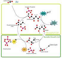 Fissazione del carbonio C4. Fonte: Wikipedia