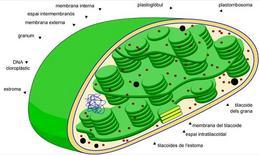 Schema di un cloroplasto. Fonte: immagine modificata da Wikipedia